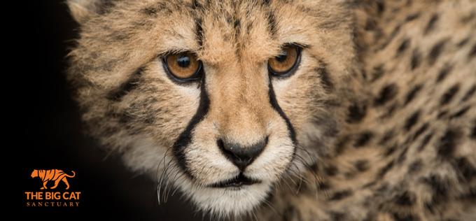 Formula E | DS Techeetah annuncia una nuova collaborazione con The Big Cat Sanctuary